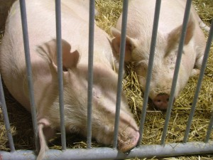 Sleeping Piggies...aawww